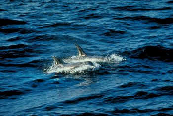 Dolphin Deaths Blamed On Virus