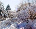 Snow On Evergreens And Bushes 020710