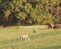 Horses In Pasture (RG)