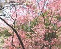 Dogwood Trees